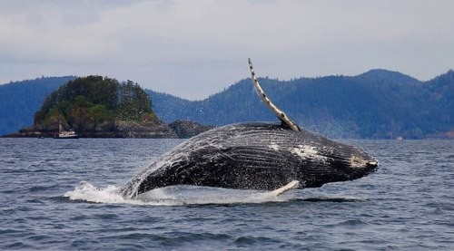 humpback-whale-breaching-final